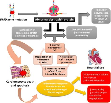 A current approach to heart failure in Duchenne muscular