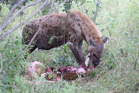 Wild dogs steal a hyena's meal - Africa Geographic