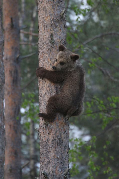 Brown Bears in Finland Finland wildlife holiday | Europe