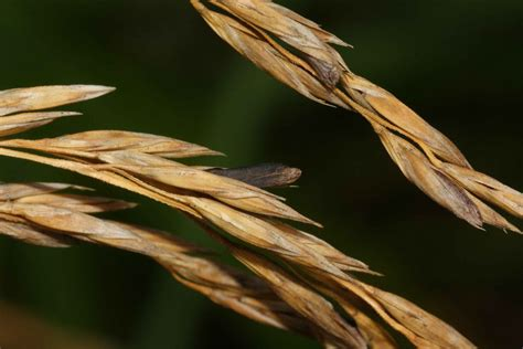Call for review of ergot alkaloids in cereals - Farming UK