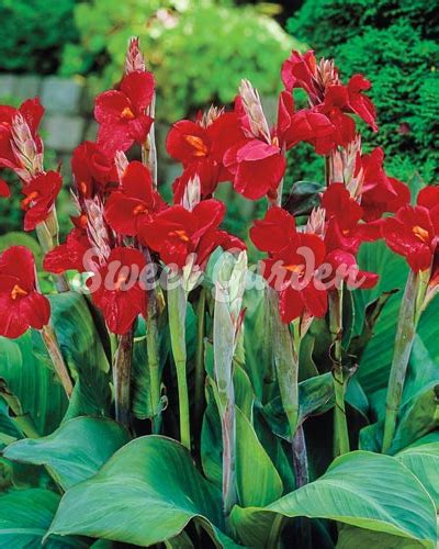 Canna indica Red | Sweet Garden